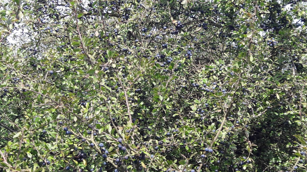 sloes epping forest blackthorn
